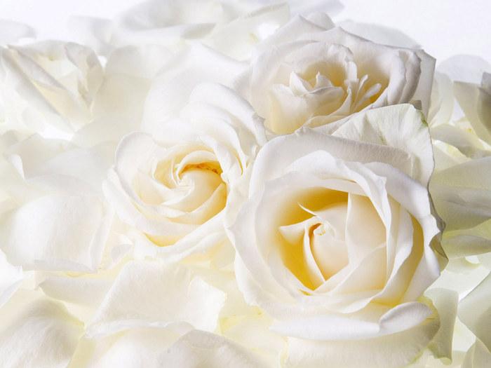 18623623_1203709135_white_roses_wallpaper Почему розы самые популярные цветы для букета?